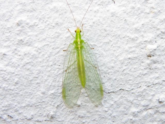Chrysope, un insecte allié du jardinier biologique