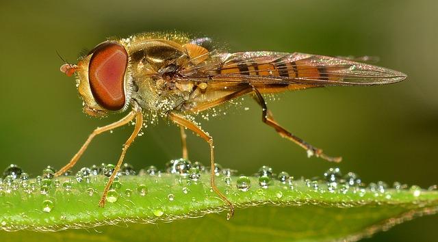 Le syrphe, un autre insecte utile en jardinage naturel